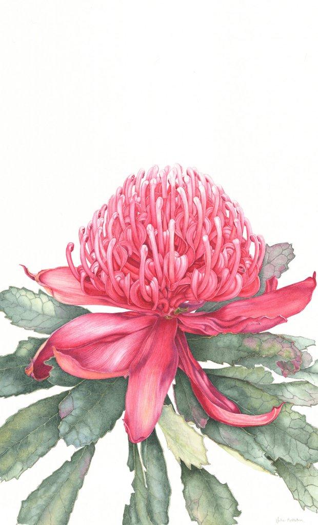 Telopea speciosissima, NSW Waratah