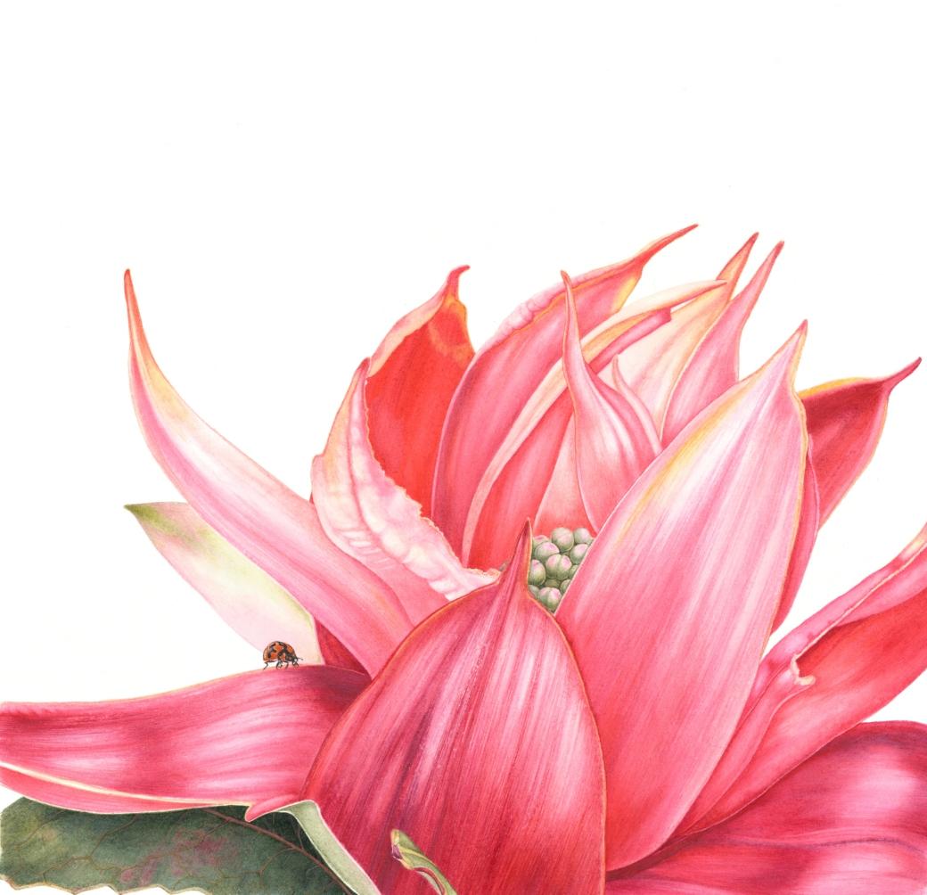 Telopea speciosissima, NSW Waratah opening flower
