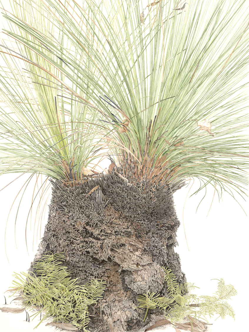 Xanthorrhoea australis website copy