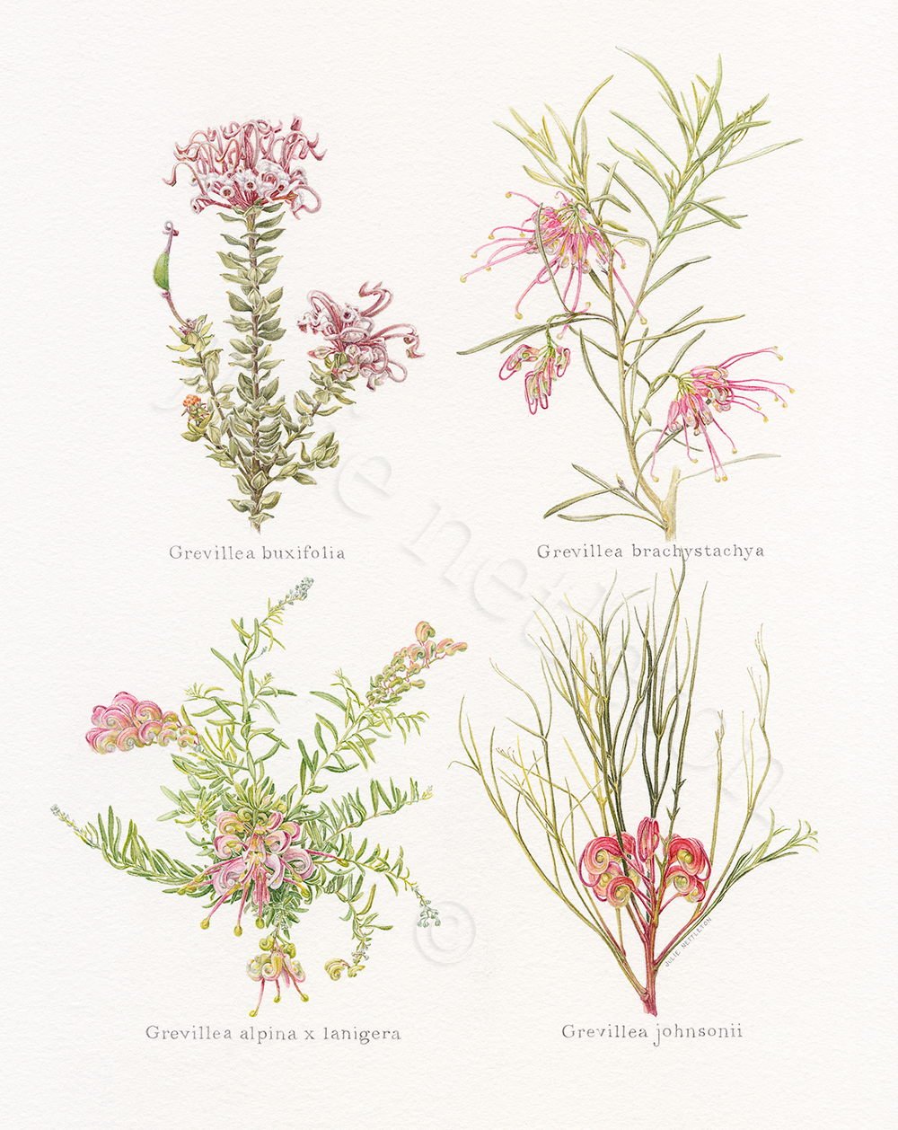 Four-Red-Grevilleas