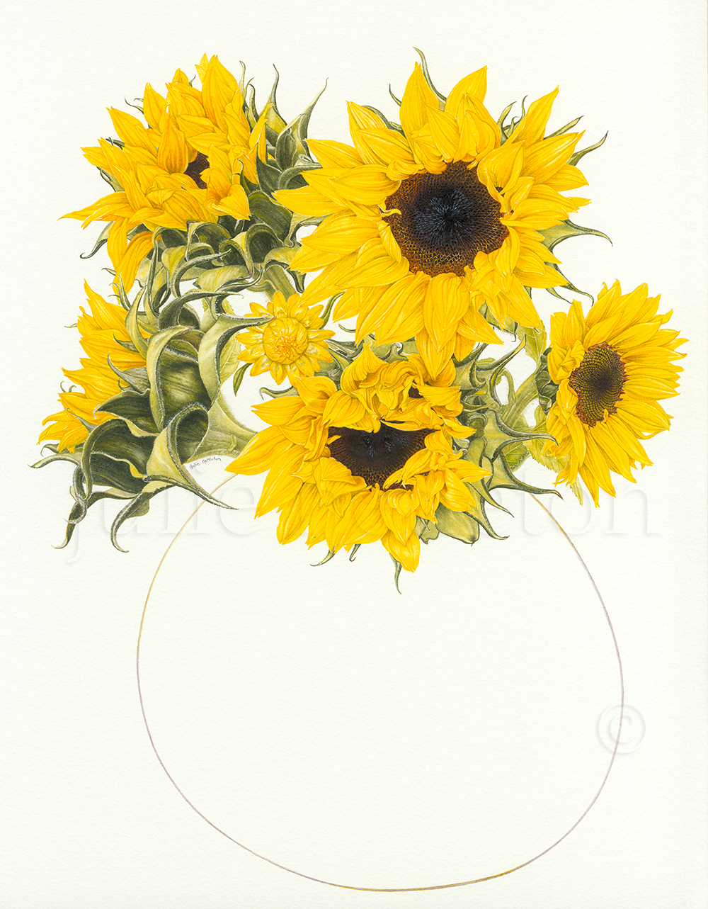 Helianthus-annuus-Sunflowers-and-Paper-Daisy