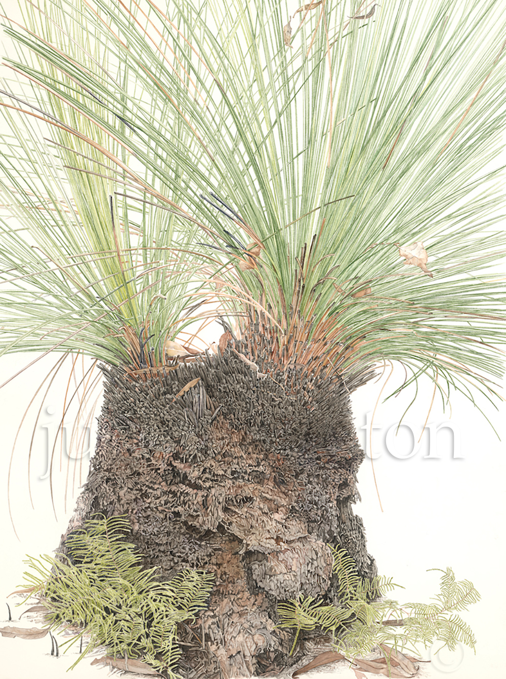 Xanthorrhoea-australis-with-Gleichenia-dicarpa-Grass-Tree-with-Pouched-Coral-Fern
