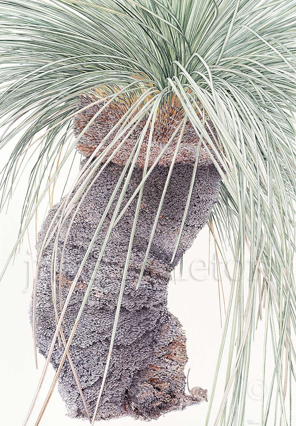 Xanthorrhoea-resinosa-and-Antechinus-Grass-Tree-and-Native-Mouse
