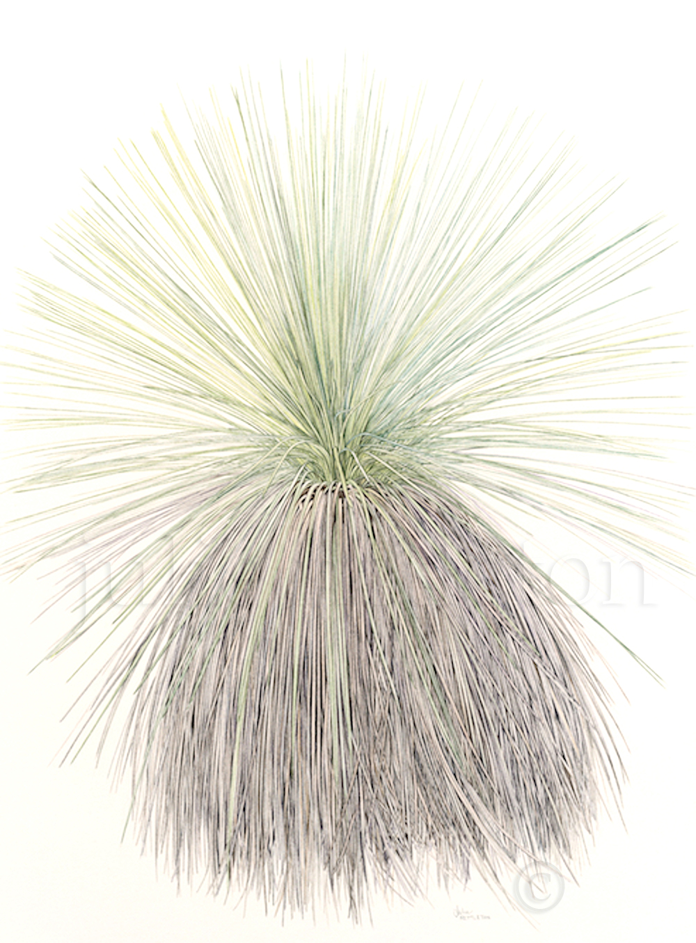 Xanthorrhoea-resinosa-Grass-Tree-100-yrs-old