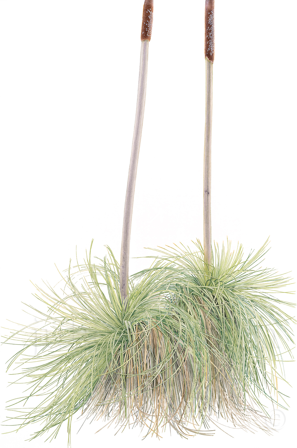 Xanthorrhoea-resinosa-Grass-Tree-with-Branched-Trunk