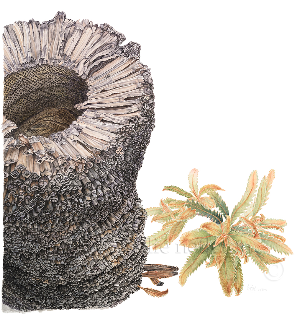 Xanthorrhoea-resinosa-trunk-with-Banksia-aemula---Grass-Tree-with-Old-Man-Banksia