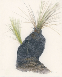 Xanthorrhoea sp 'After the Fires 5'