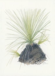 Xanthorrhoea sp 'After the Fires 6'