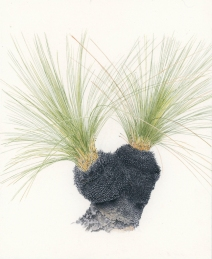 Xanthorrhoea sp 'After the Fires 8'