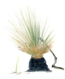 Xanthorrhoea sp 'After the Fires 9'